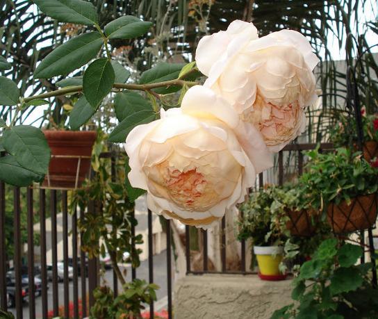 Балкон для романтиков. Розы на балконе, выращивание роз на балконе. Пример красивого романтического плана.