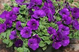 :supertunia royal velvet.jpg
