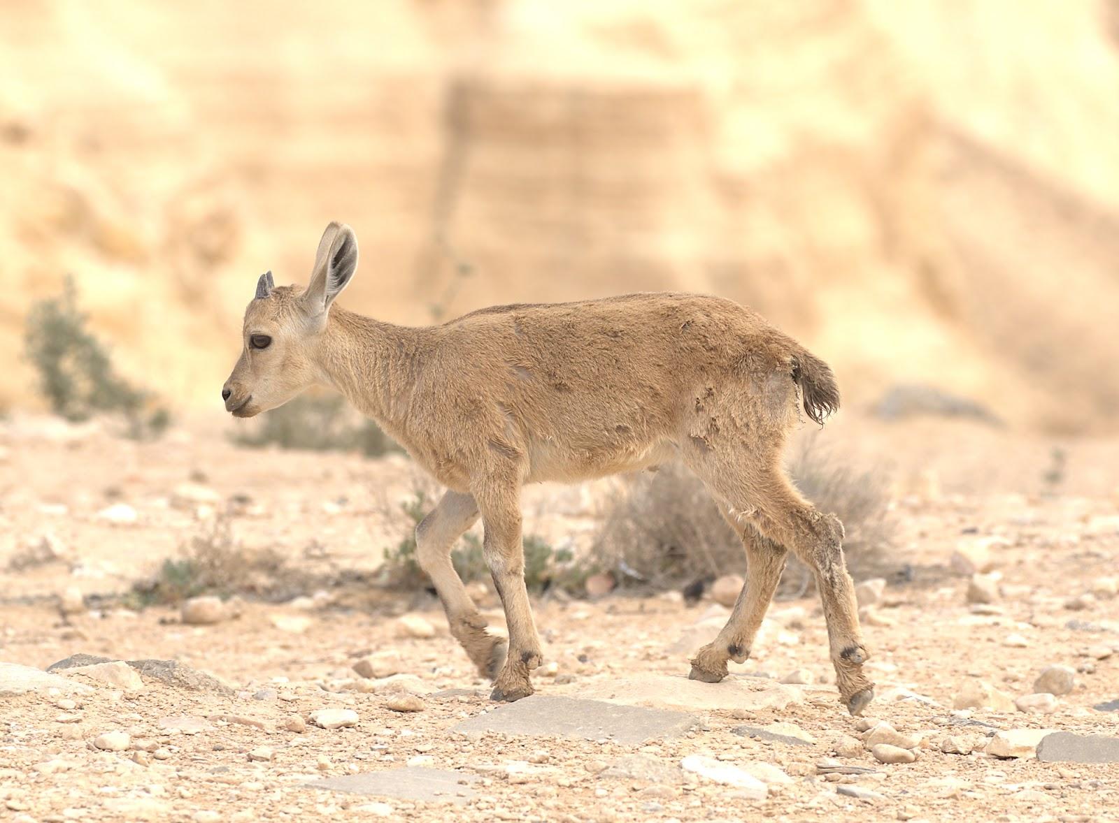 Nubian ibex young_rsz.jpg