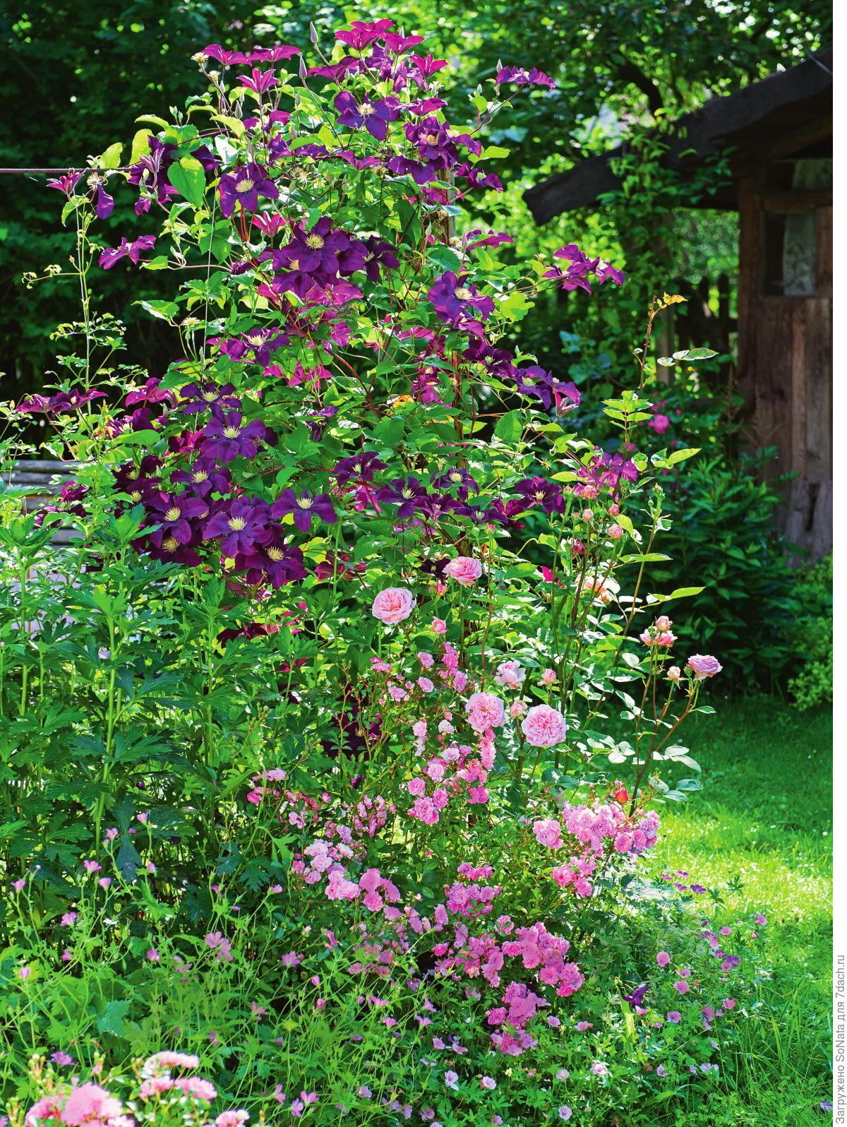 Клематис фиолетовый 'Etoile Violette'