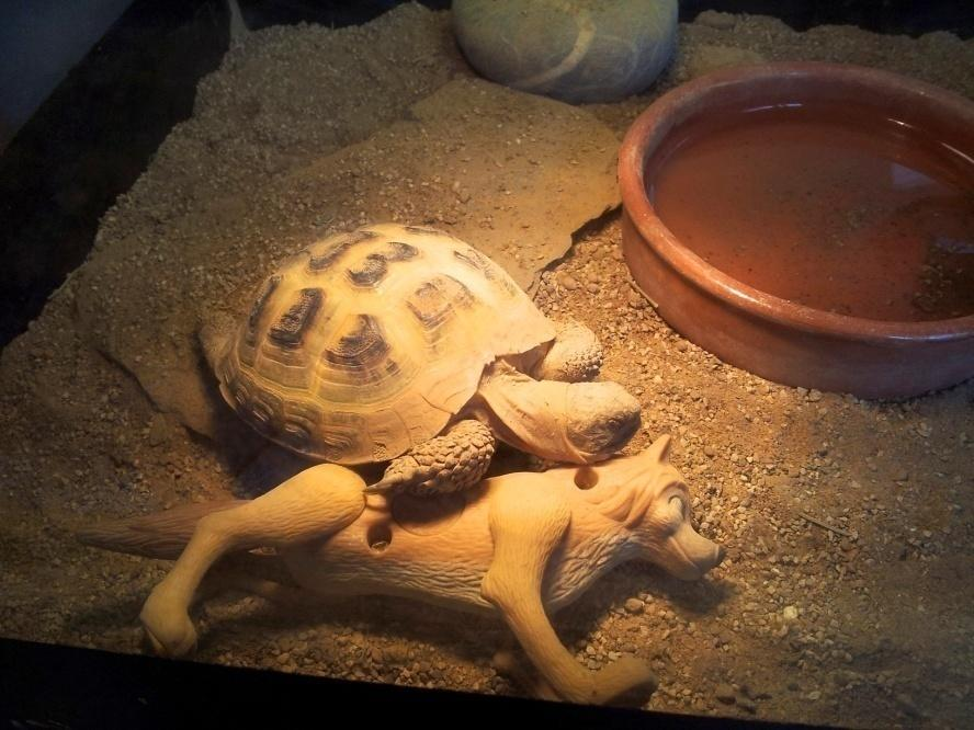 Image result for sleeping russian tortoise