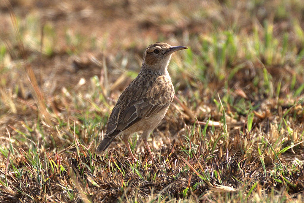 eastern long-billed lark (Copy).jpg
