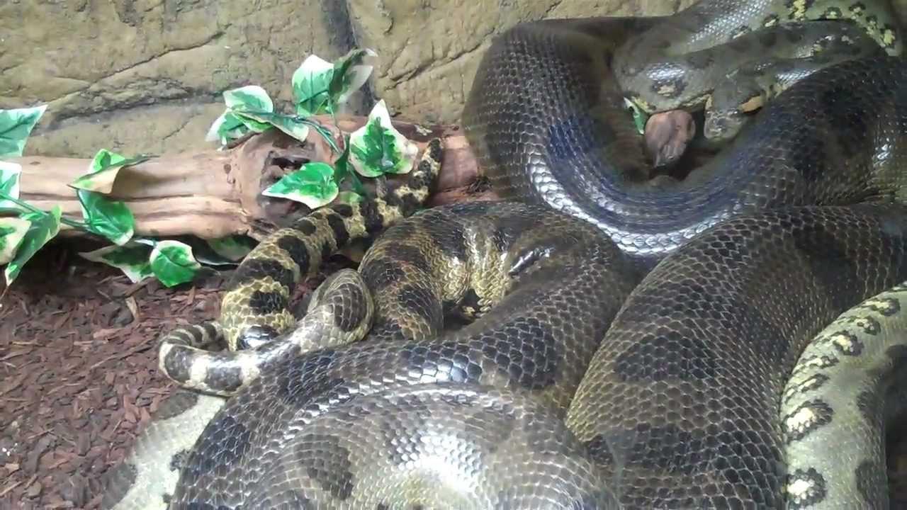 Image result for green anaconda mating