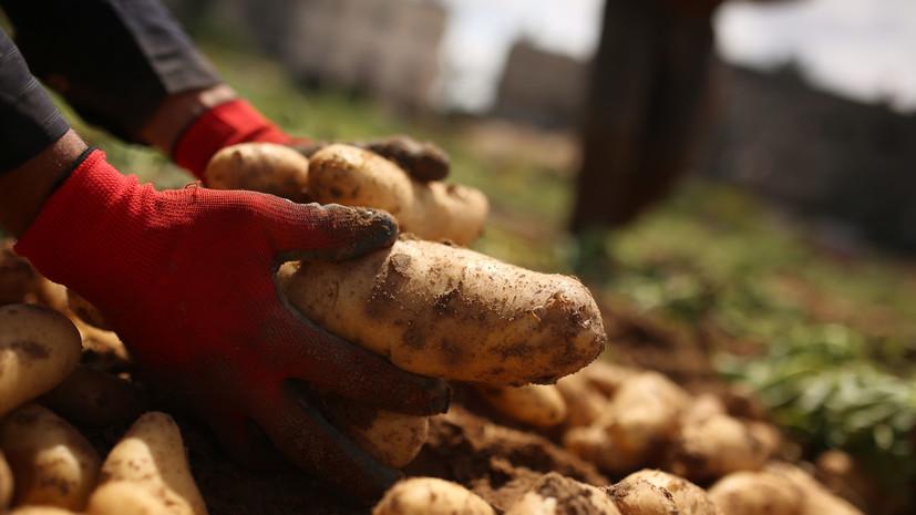 Росія експортує картоплю до України через Білорусь