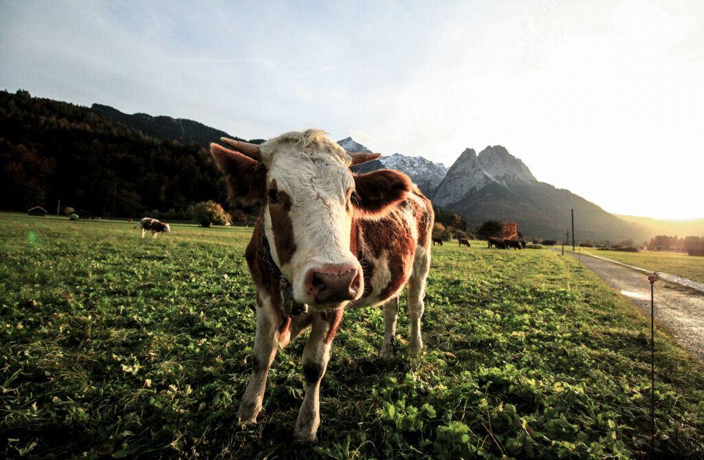 parmigiano reggiano cow