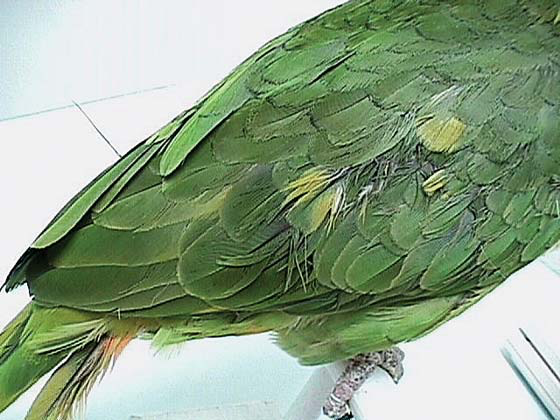 An 27-year-old yellow-naped Amazon with abnormal yellow coverts developed while being fed a seed, table food and nut diet