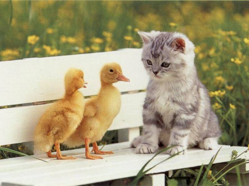 Cat-and-duck.bmp