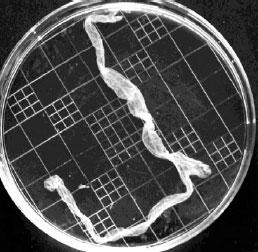 Embryon d'alpaga au 14e jour suivant l'ovulation