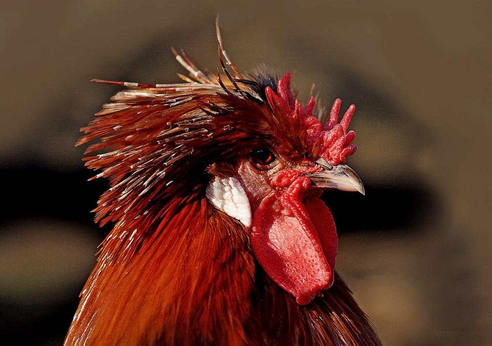 Rooster, Bird, Male, Red, Head, Profile, Portrait
