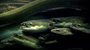 Image result for eels in the river