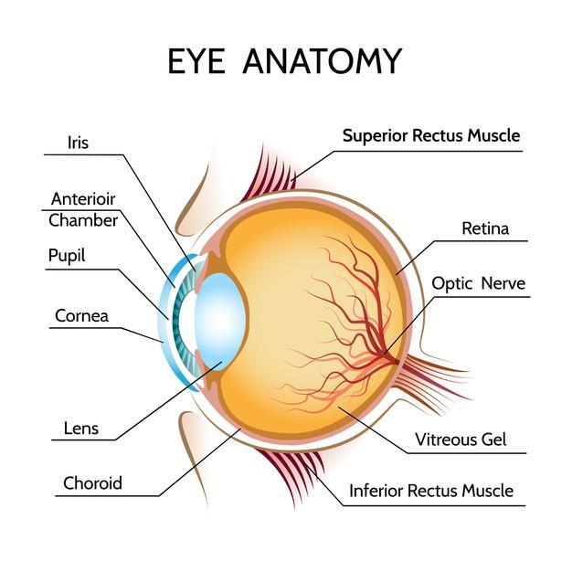 Eye anatomy illustration Free Vector
