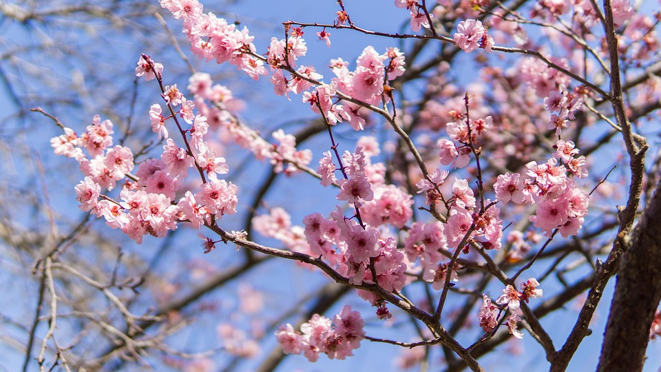 A Dash of Pink and a Blood of Red: The Sakura and The Samurai