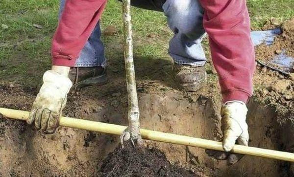 Дерево в посадочной яме