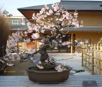 bonsai cerejeira no clima