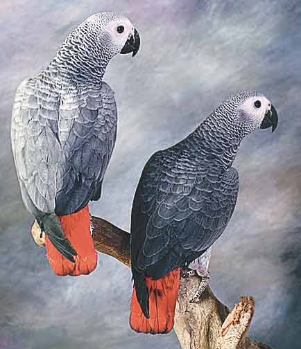 In the USA, African grey parrots (Psittacus erithacus) are being domestically bred and managed to eliminate negative characteristics that are still prevalent in imported greys in Europe: feather-picking, screaming and respiratory infections