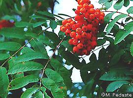http://bio.edu.ee/taimed/oistaim/images/pihlakas.jpg