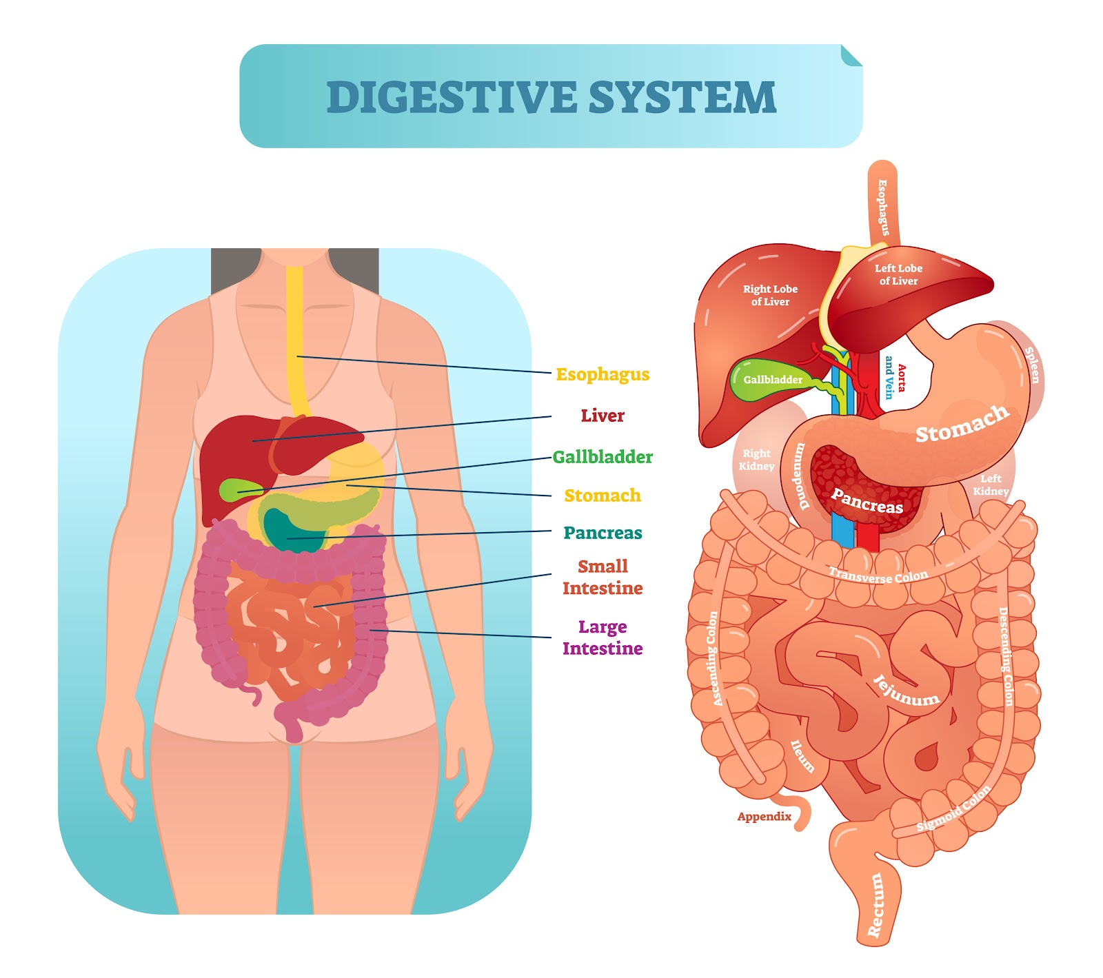 Info graph of digestive system.