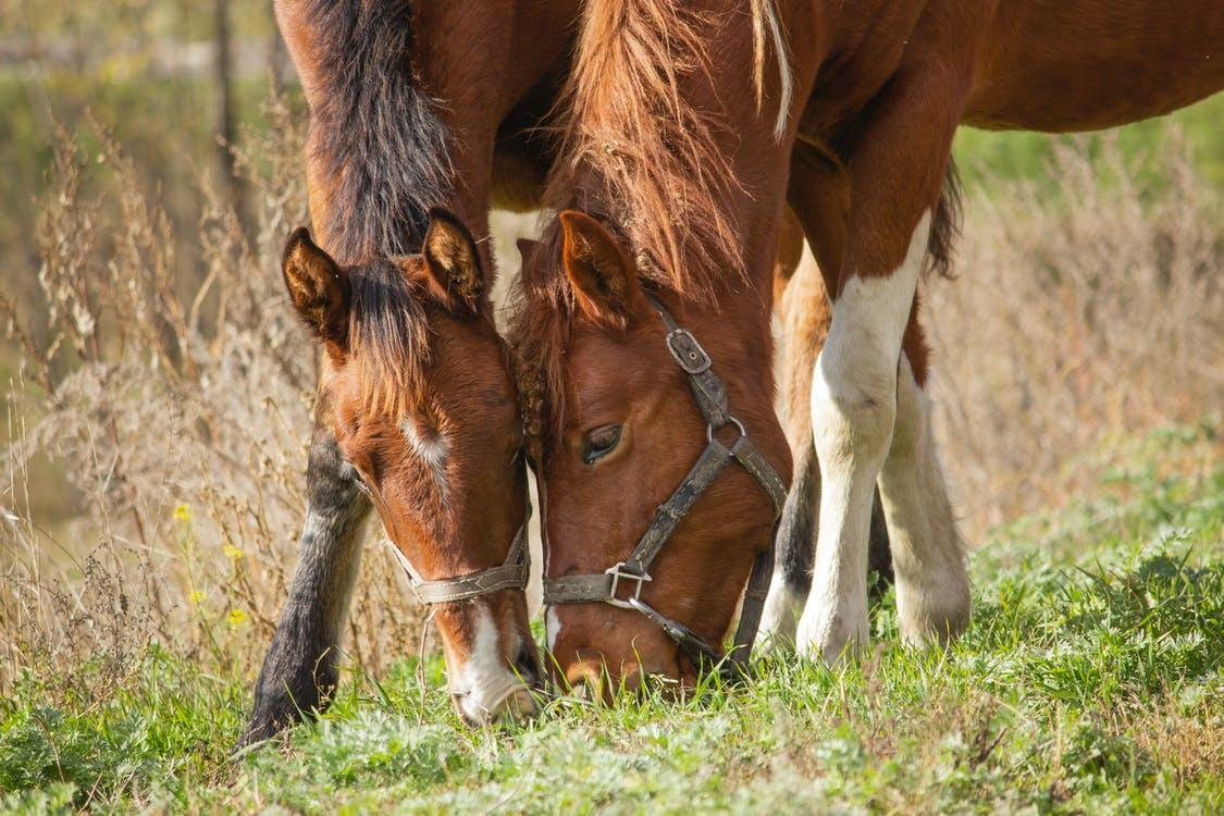 Two Brown Horses Feeding On Grass