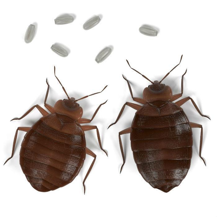 Bed bugs are oval-shaped, reddish-brown, and walk like ants.