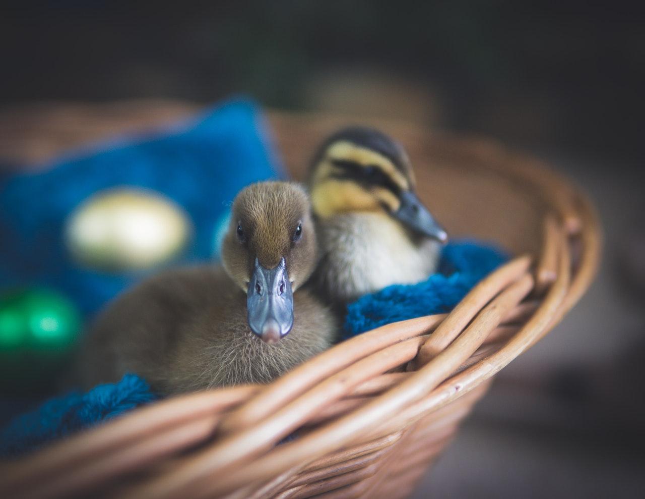 Cute ducklings in a basket