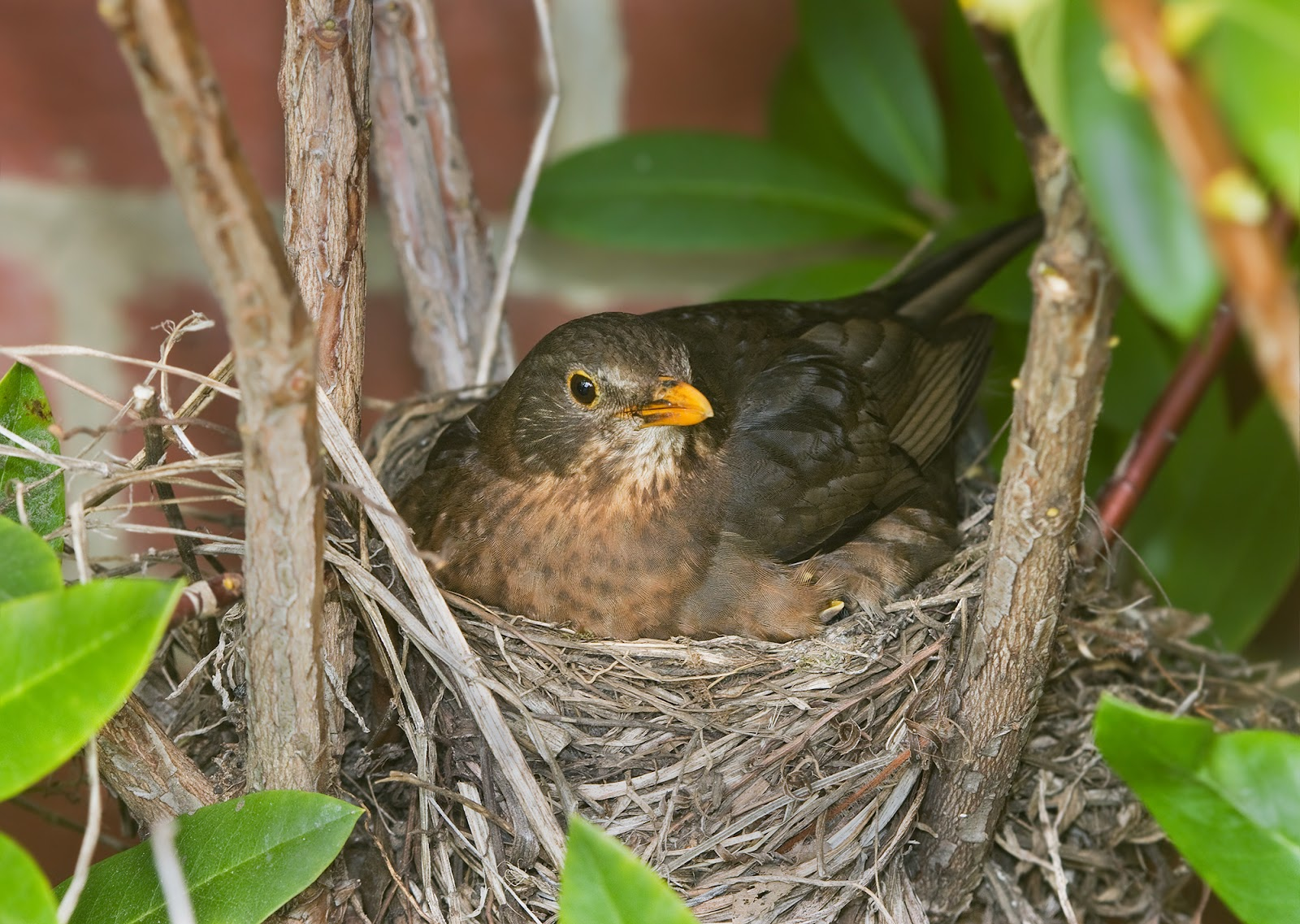 Cup nest of a common blackbird