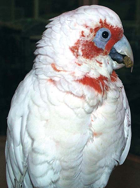 Long beaks are normal for a species like the little corrella