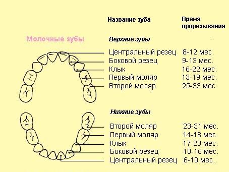 схема прорезывания молочного ряда