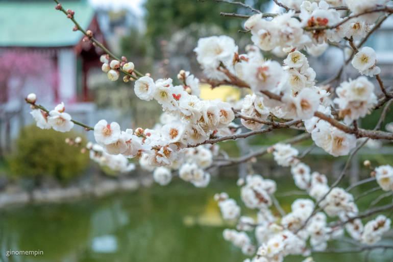plum blossoms tokyo 2019