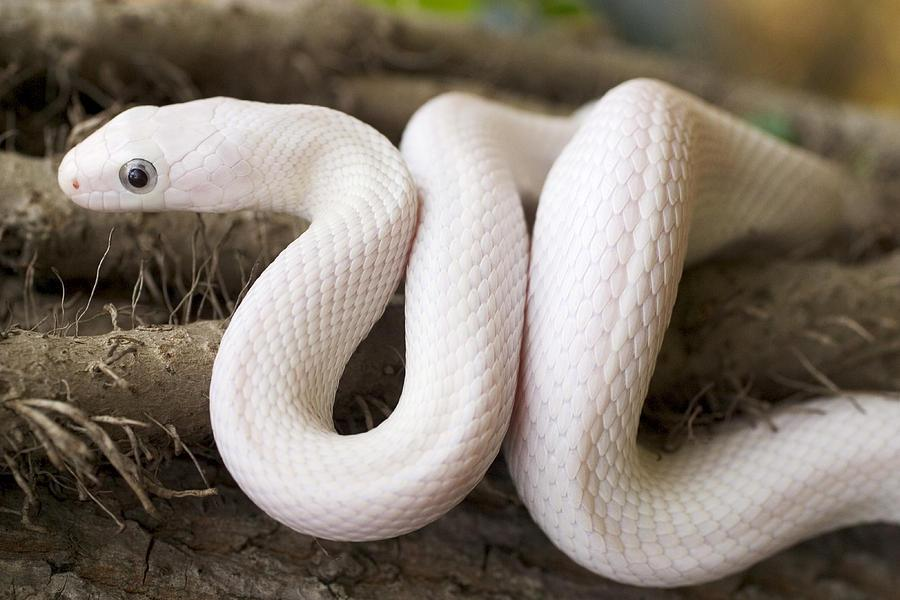 Image result for Leucistic Texas Rat Snake