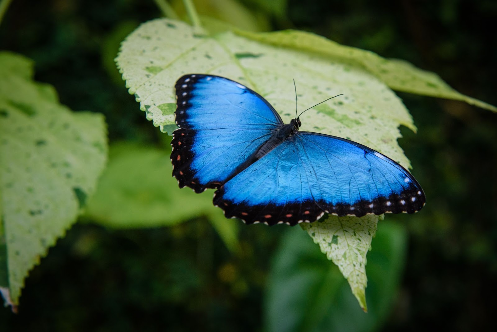 blue animals Blue morpho butterfly sitting on a plant