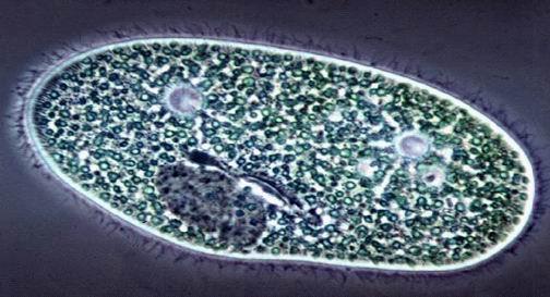 Resultado de imagen de protozoo