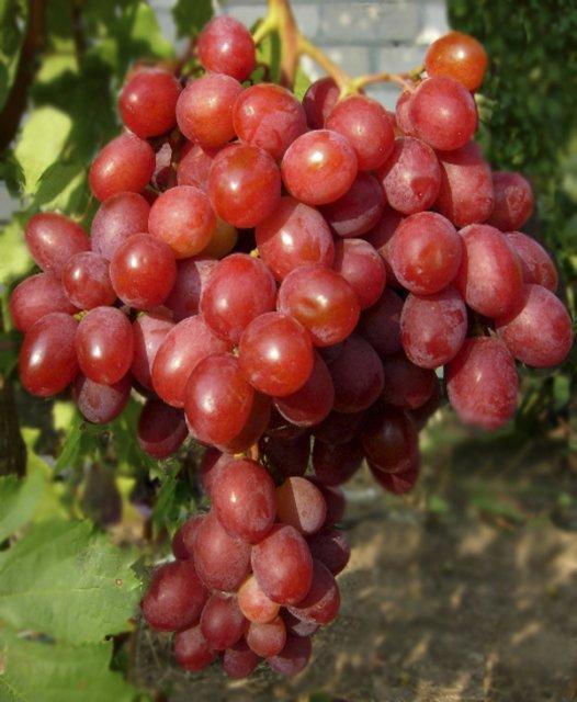 Картинки по запросу виноград рубиновый юбилей