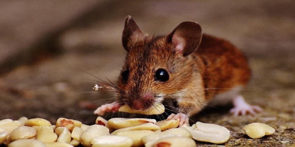 Animal roedor comendo  Descrição gerada automaticamente