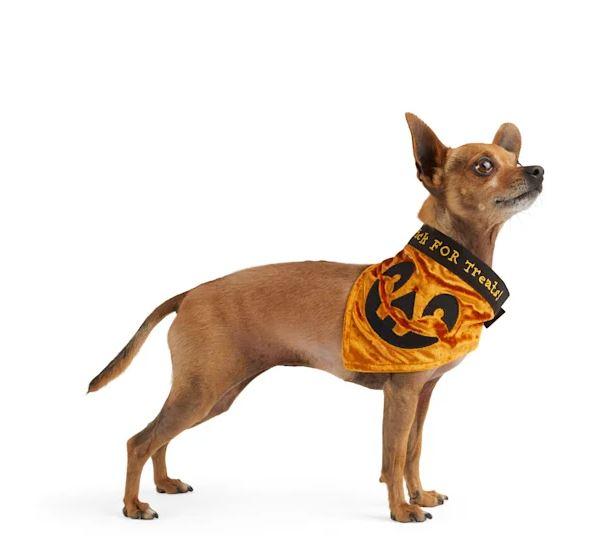 Dog in a velvet pumpkin bandana