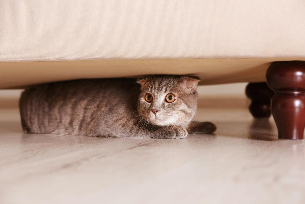 cat hiding under the bed looks stressed