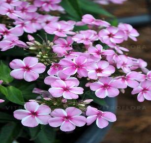 https://www.vitroflora.pl/img/produkty/rosliny/_big/byliny-i-trawy_early_76334_4.jpg