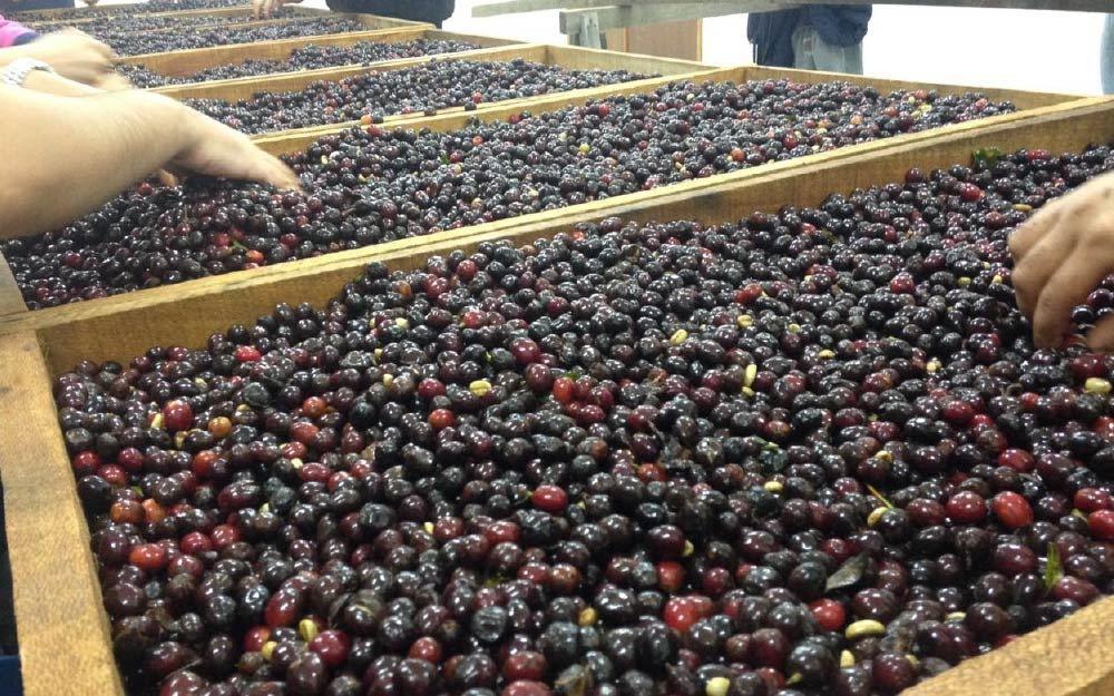 catando cerejas do café