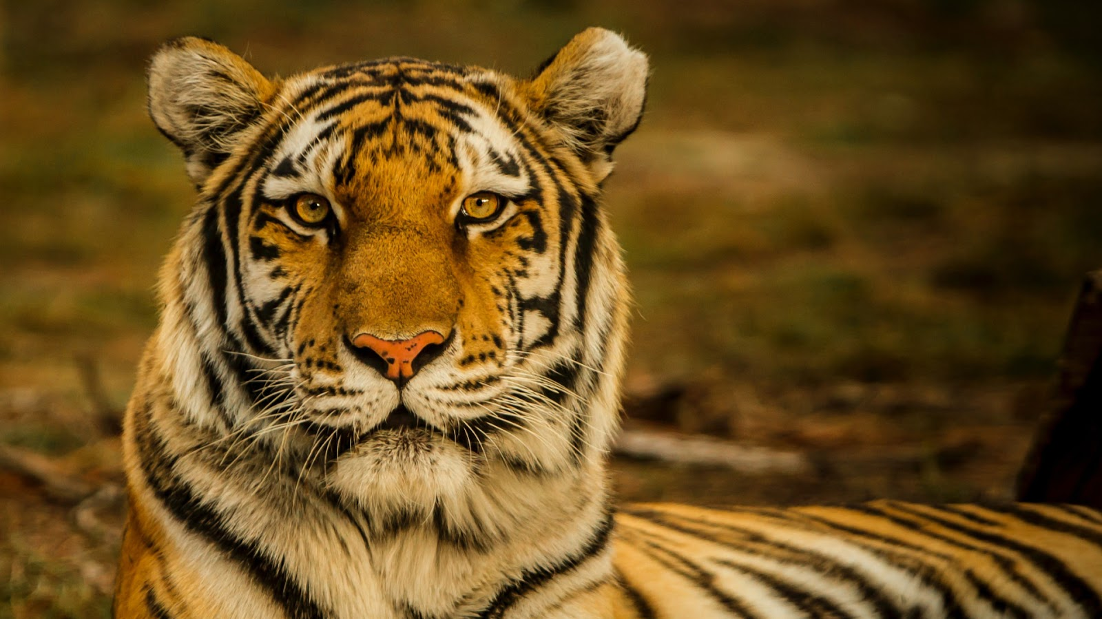 A regal tiger stares into the camera, wanting to know more about the Tiger King.
