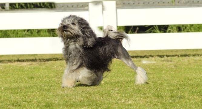 2e race de chien la plus chère: Löwchen