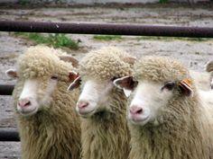 owca a.jpg