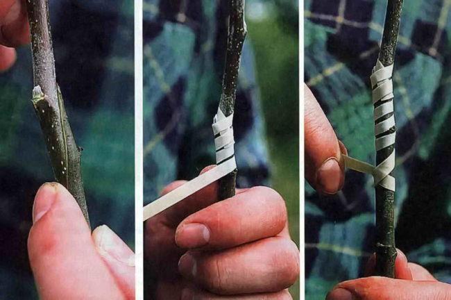 Порядок выполнения простой копулировки при прививки груши на яблоню