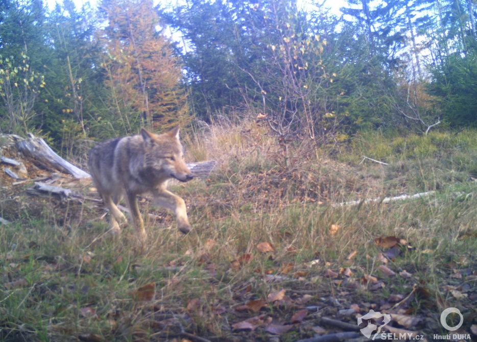 Vlk z Broumovska