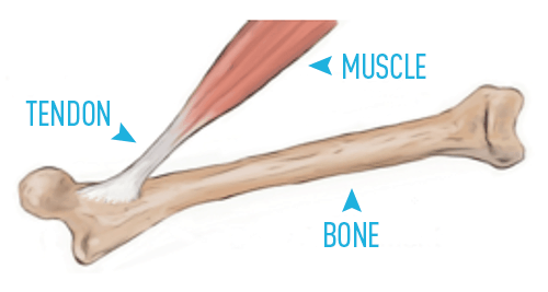 Tendon Strength & Connective Tissue Health 💪 GMB Fitness