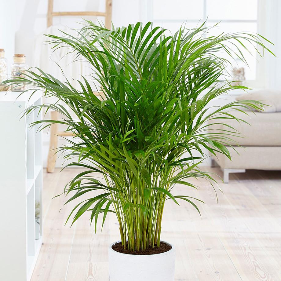 2. ปาล์มใบไผ่ (Bamboo Palm)