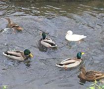 Obraz znaleziony dla: kaczki w stawie