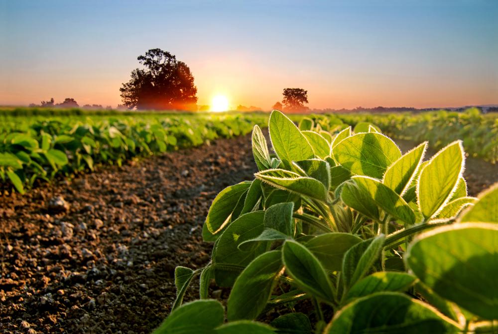 Paraguai foi responsável por 99% da soja importada no Brasil. (Fonte: Shutterstock)