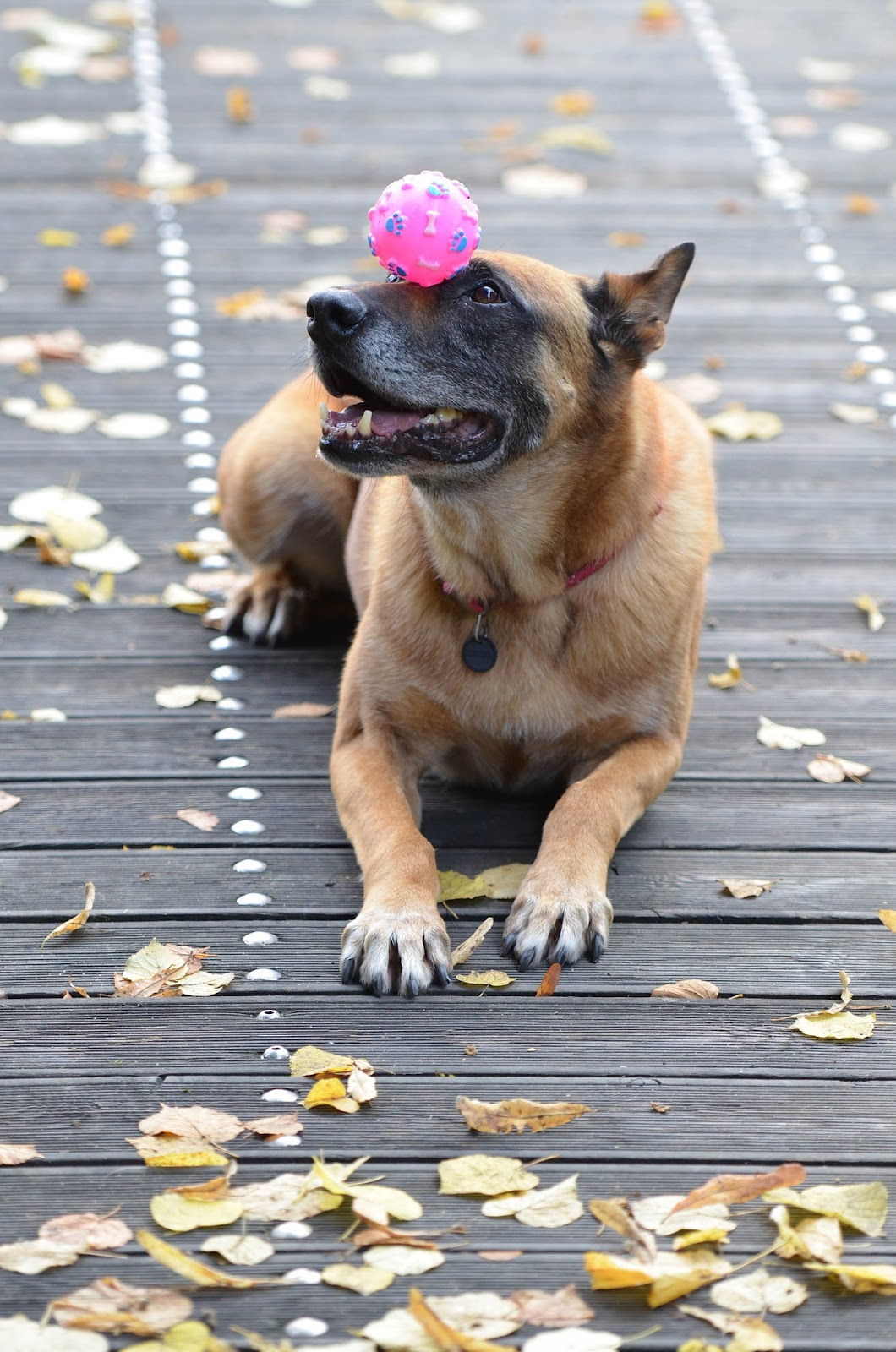 german shepherd balancing ball on his nose
