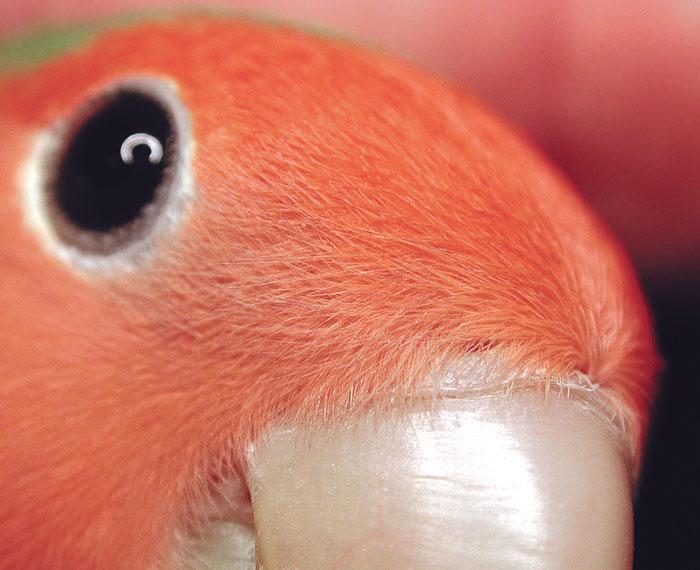 Normal naris in a lovebird