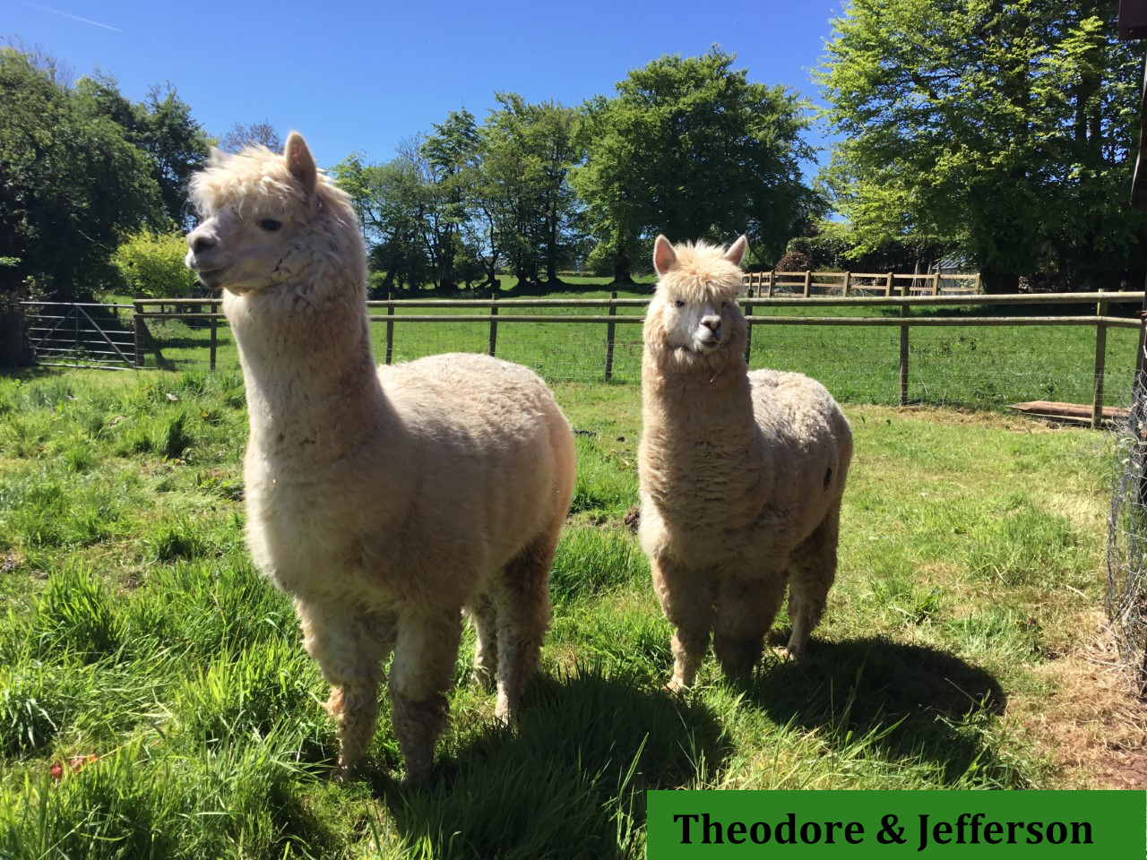Theodore and Jefferson, the fun alpacas that live at Quoit-at-Cross bed and breakfast.