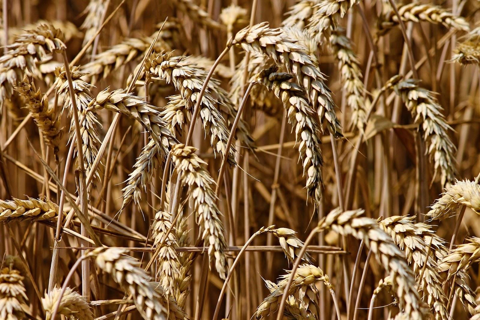 Estiagem é benéfica para produção de trigo